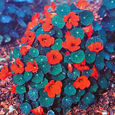 Edflowers1