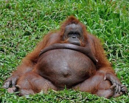 funny-fat-monkey-445x355