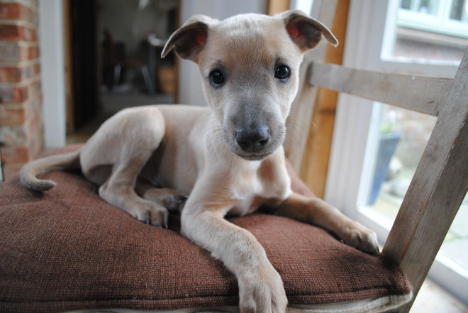 adorable-kc-registered-whippet-puppy-5544da3e5b610-1